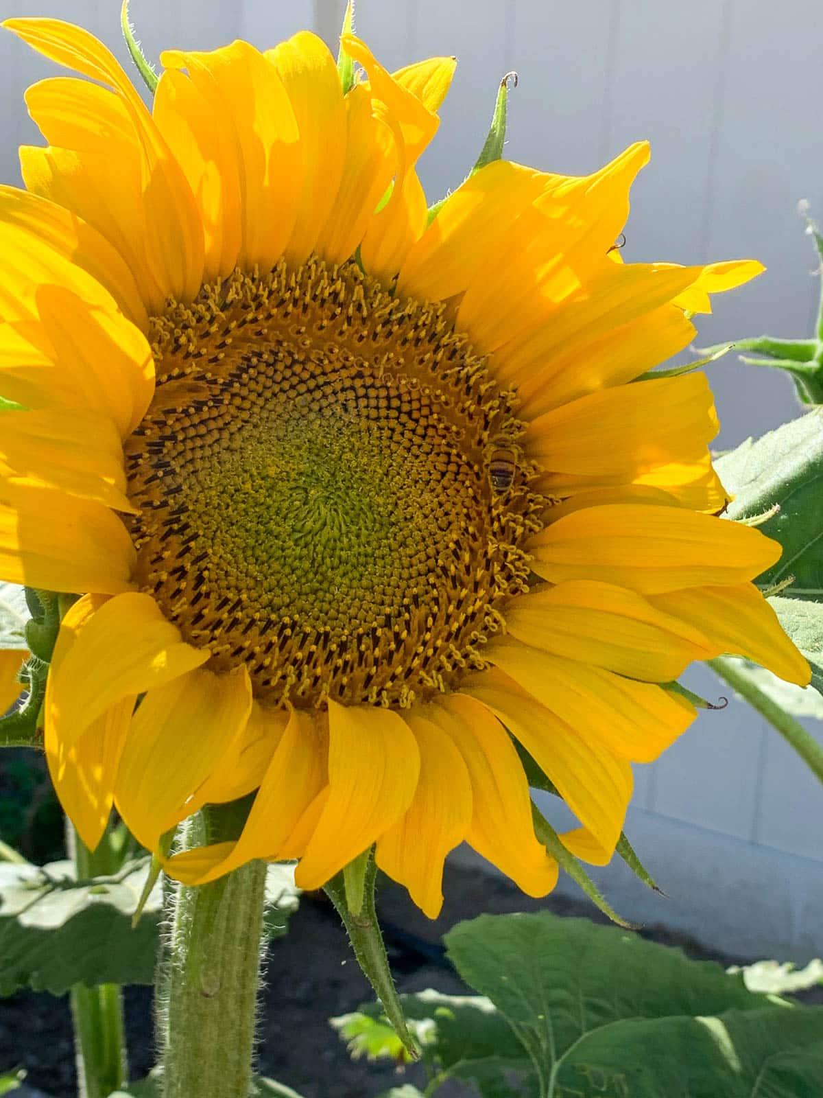 russian sunflower